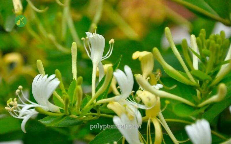 Kim ngân hoa: Cây thuốc điều trị polyp túi mật